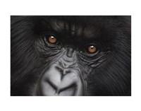 Eyes of Virunga: Mountain Gorilla Fine Art Print
