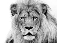 Male Lion Framed Print