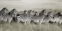 Grant's Zebra, Masai Mara, Kenya Fine Art Print
