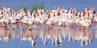 Lesser Flamingo, Lake Nakuru, Kenya Fine Art Print