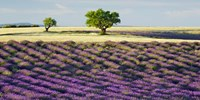 Lavender Field and Almond Tree, Provence, France Fine Art Print