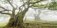 Laurel Forest in Fog, Madeira, Portugal Fine Art Print