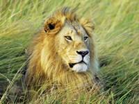African Lion, Masai Mara, Kenya Fine Art Print