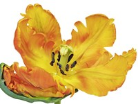 Parrot Tulip Close-Up Fine Art Print