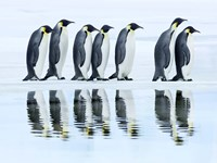 Emperor Penguin Group, Antarctica Fine Art Print