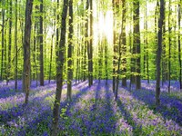 Beech Forest With Bluebells, Belgium Fine Art Print