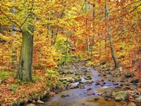 Beech Forest In Autumn, Ilse Valley, Germany Fine Art Print