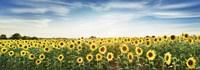 Sunflower Field, Plateau Valensole, Provence, France Fine Art Print