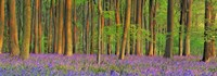 Beech Forest With Bluebells, Hampshire, England Fine Art Print