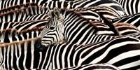 Herd of Zebras Fine Art Print