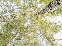 Birch Woods in Spring Fine Art Print