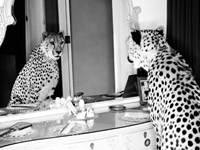 Cheetah Looking in Mirror Framed Print