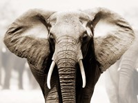 African Elephant Fine Art Print
