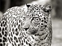Portrait of Leopard, South Africa Fine Art Print