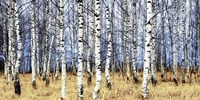 Birch Grove in Autumn Fine Art Print