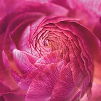 Ranunculus Abstract II Color Fine Art Print