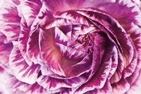 Ranunculus Abstract VI Color Fine Art Print