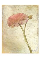 Ranunculus Bloom 2 Fine Art Print