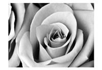 White Noise Rose 2 Framed Print
