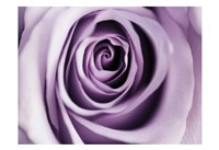 Lavender Bloom Fine Art Print