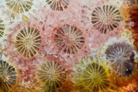 Coral, Indonesia Fine Art Print