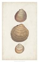 Antiquarian Shell Study IV Framed Print