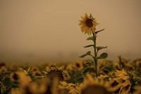 Sunflowers Fog Fine Art Print