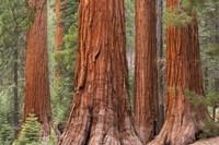Tree Trunks Fine Art Print
