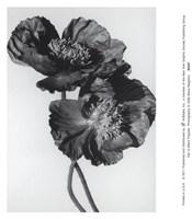 Pair Of Black Poppies Fine Art Print