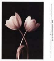 Blush Tulip I Fine Art Print