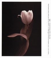 Blush Tulip Iii Fine Art Print