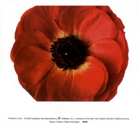 Poppy In Bloom Fine Art Print