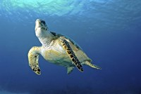 Hawksbill sea turtle ascending, Nassau, The Bahamas Fine Art Print