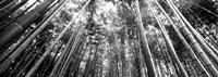 Low angle view of bamboo trees, Arashiyama, Kyoto, Japan Fine Art Print