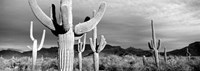 Arizona, Organ Pipe National Monument Fine Art Print