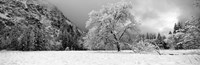Snow covered oak tree in a valley, Yosemite National Park, California Fine Art Print