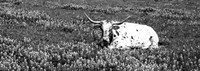 Texas Longhorn Cow Sitting On A Field, Hill County, Texas Fine Art Print