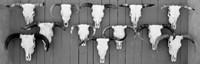 Cow skulls hanging on planks, Taos, New Mexico Fine Art Print
