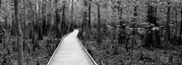 Boardwalk passing through a forest, Congaree National Park, South Carolina Fine Art Print