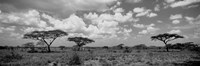 Acacia trees on a landscape, Lake Ndutu, Tanzania Fine Art Print