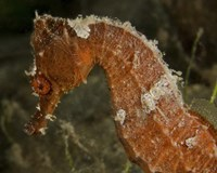Close-up view of an Orange Seahorse Fine Art Print