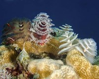 Multiple Christmas Tree worms, Curacao Fine Art Print