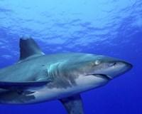 Close-up side view of an Oceanic Whitetip Shark Fine Art Print
