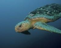 Loggerhead Sea Turtle off the coast of North Carolina Fine Art Print