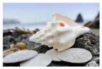 Crescent Beach Shells 11 Fine Art Print
