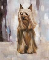 Silky Terrier I Fine Art Print