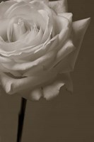 Sepia Rose Fine Art Print