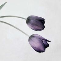 Tulip III Framed Print