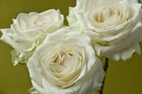 Cream Roses Fine Art Print