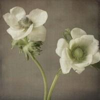 Anemone I Framed Print